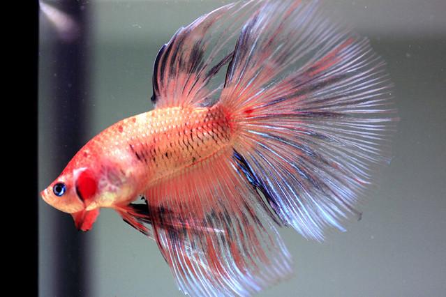 Delta Tail Betta Fish Betta Super Delta | Fl...