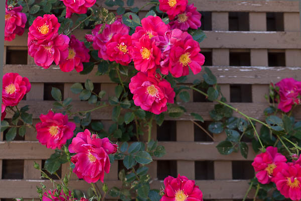Old Fashioned Pink Roses on Trellis