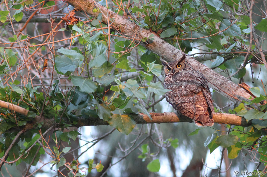 Great-Horned-Owl-and-Anna's-Hummingbird-041314