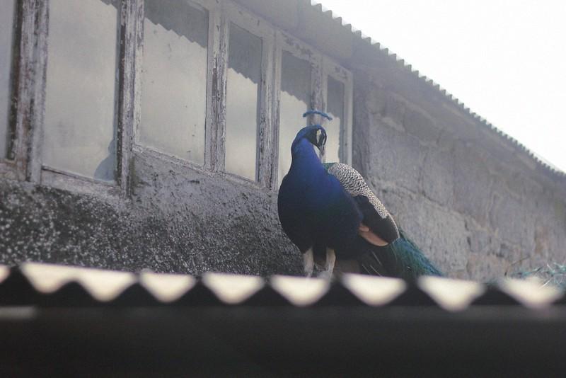 peacock altamont garden