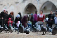 Pigeons (Urfa Balıklıgöl)