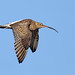 curlew in-flight
