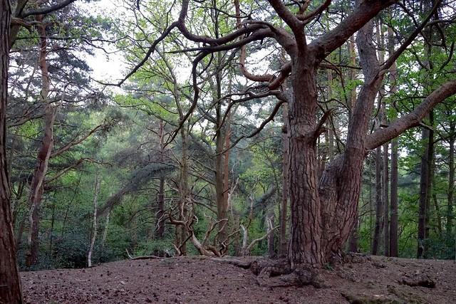 Oxshott Woods Recce