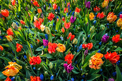 The colors of tulips
