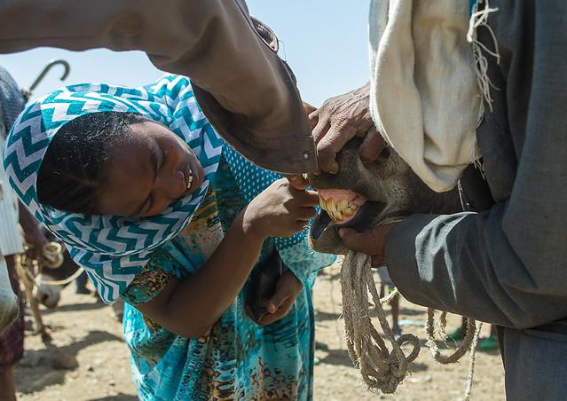 Woman checking the teeth of a donkey in the market, Oromo, Sambate, Ethiopia