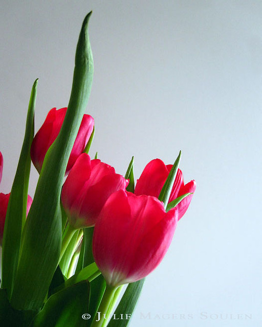 a brilliant red bouquet of spring tulips fresh from the garden