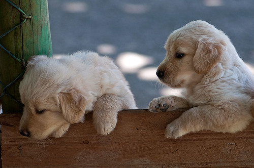 dogs_0477