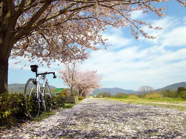 旭川沿いの桜