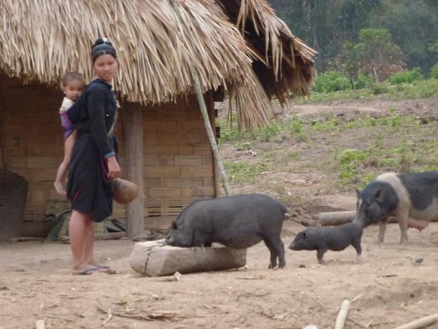 Feeding the pigs