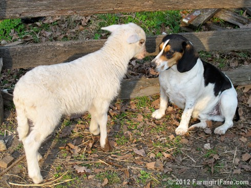 Lamb kissing Bert 3 - FarmgirlFare.com