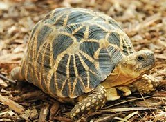 貝勒陸龜中心(Behler Chelonian Center)的緬甸星龜。( Brian D. Horne 攝)