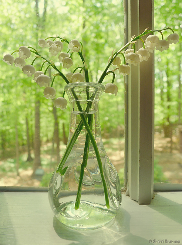 lily of the valley in the window