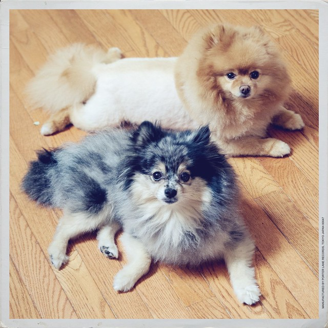 Haircuts For Pomeranians: 1000+ Images About Pomeranian Haircut On Pinterest