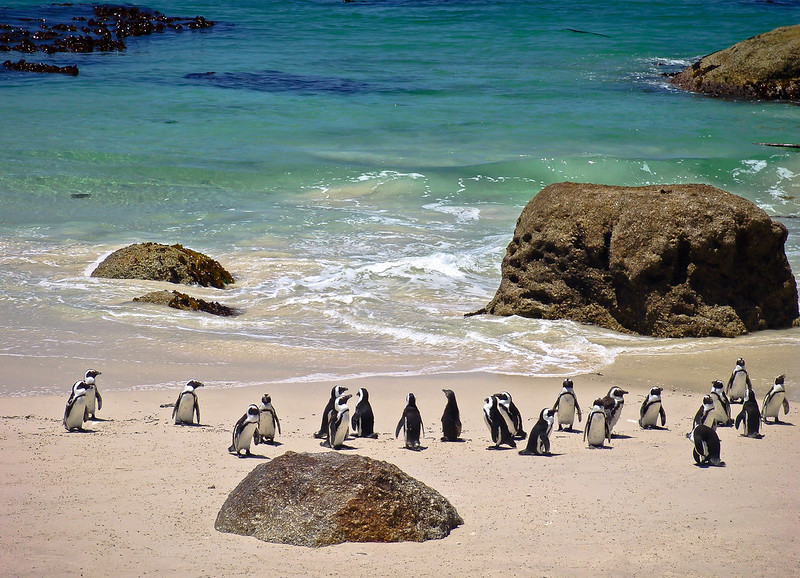 Penguins-Boulder-Beach