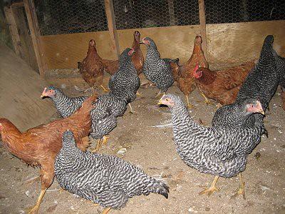 ChickensNewRockNYReds2