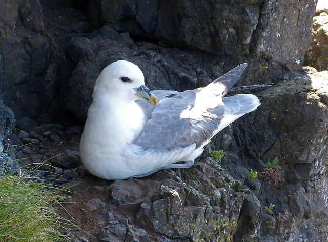 27205 - Fulmar, Isle of Mull