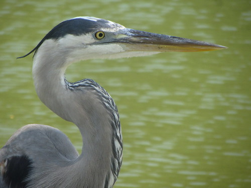 seriously annoyed blue heron