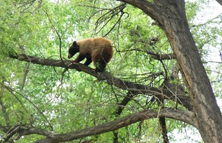 A brown bear in a tree