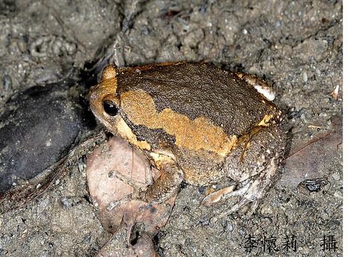 花狹口蛙(照片提供:兩棲類保育網)