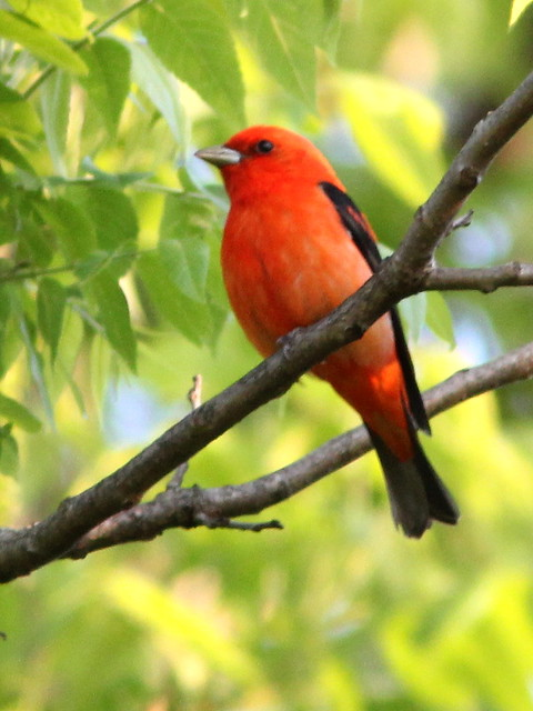 Scarlet Tanager 2-20120513