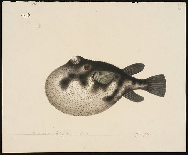Crayracion hispidus Blkr [= Arothron hispidus (Linnaeus, 1758)]