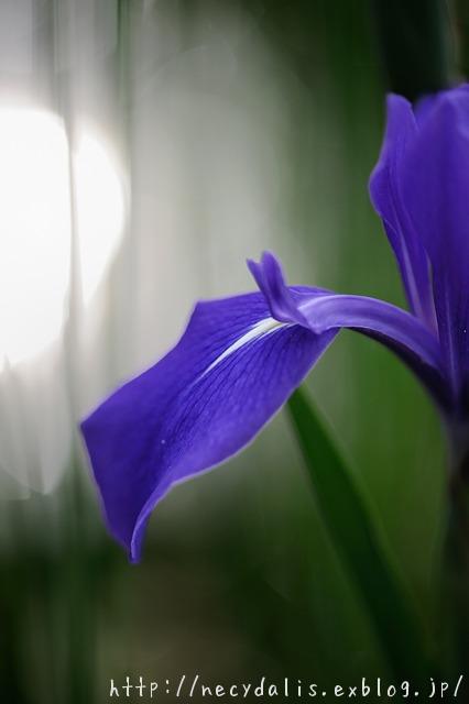 カキツバタ [Iris laevigata]...