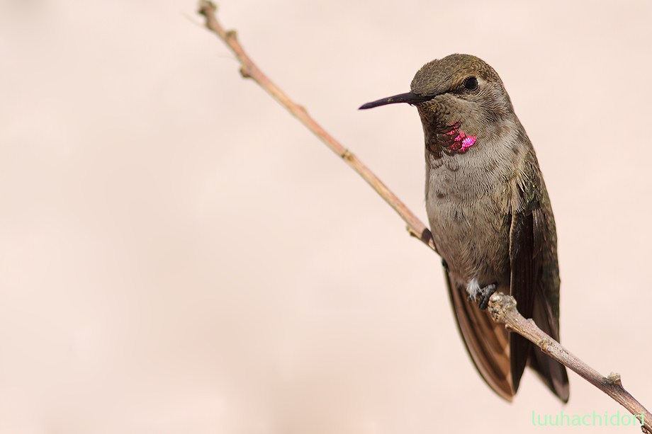 Anna's Hummingbird 051712-7