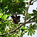 Mum and baby 3 fingered sloth we saw in the tree accross from where we stayed in Puerto Viejo, Costa Rica 06MAY12