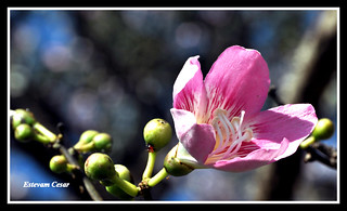 FLOR PAINEIRA -  Flowers of the silk floss tree - (Ceiba speciosa)