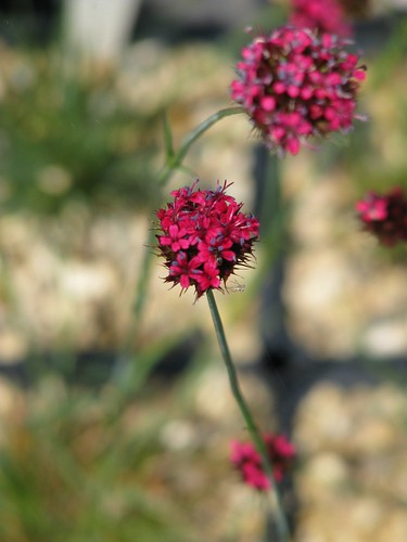 Dianthus pinifolius