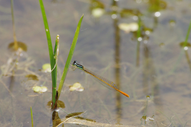 Mortonagrion selenion