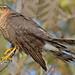 Sparrowhawk - Glazebury
