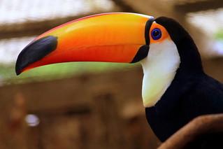 Toco Toucan - Nashville Zoo