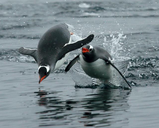 Pingüinos papúa en la Antártida