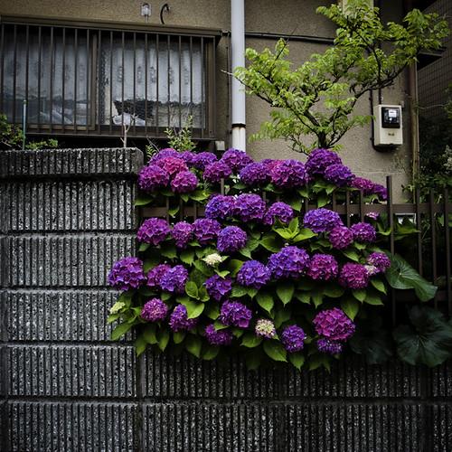 Hydrangea Rainy Season Wall, Higashi Kasai Tokyo