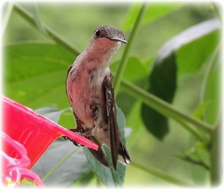 Ruby Throated Hummingbirday