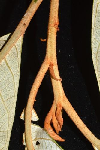 Alphitonia whitei DSC_0408 (6)
