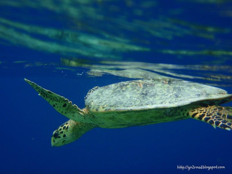 Черепахи грызкт кораллы