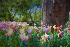 Tulip Pops_3270