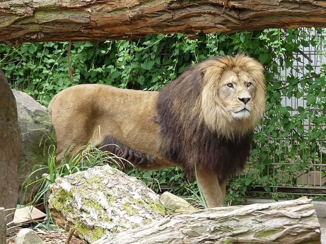 Löwe Chalid, Zoo Heidelberg