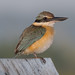 Sacred Kingfisher - Fogg Dam, Northern Territory, Australia - re-edit in PSE13 and DXO Pro