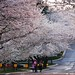 Cherry blossoms street by Lindeberg Feller