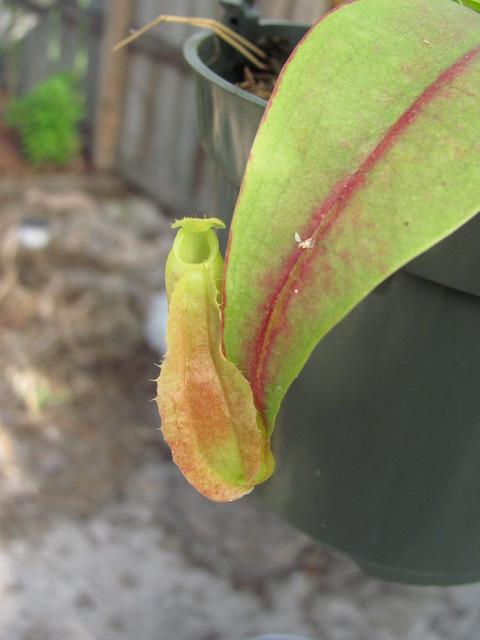 N. reindwartiana red? 1