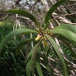 Acacia koaia leaf and flowers