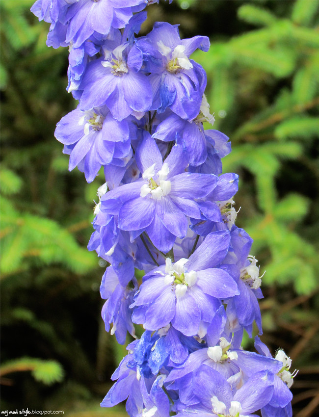 krohn tallblue flower