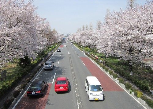 国立駅南口大学通りの桜 2012年4月10日 by Poran111