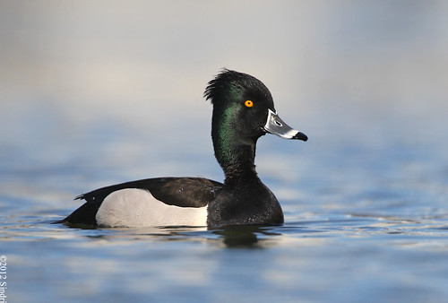 Hybrid Ring-necked Duck/Tufted Duck