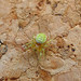 Small photo of Araniella curcubitina.