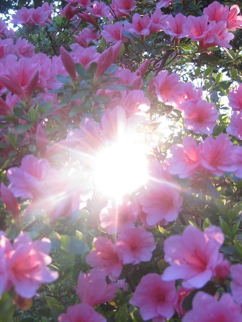 Azaleas at sunrise
