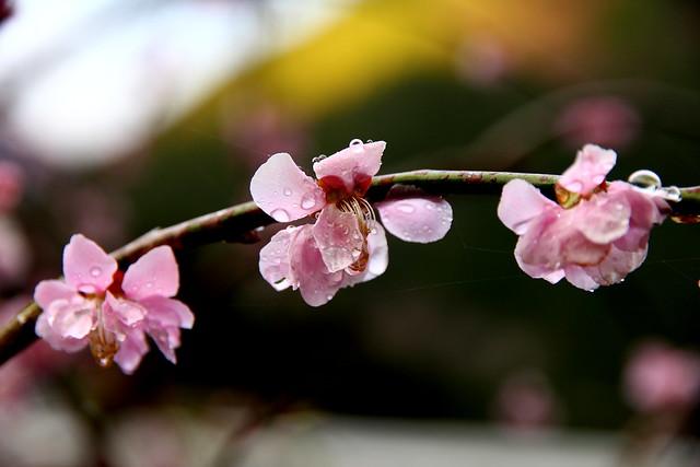 Hyotan Sakura_20